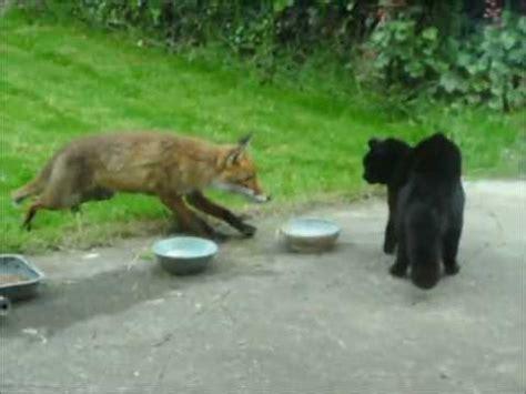 cat  fox  cat  gcoinne  tsionnaigh katze gegen