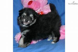 Meet Kiki a cute Pomeranian puppy for sale for $900. Kiki ...