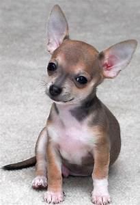 Cute Dogs: Cute Chihuahua