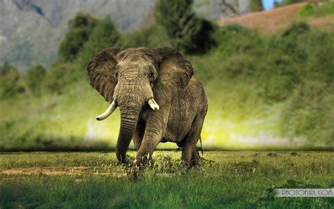 elephants wallpapers desktop  wallpapers