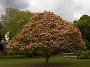 Arbre à Croissance Rapide Pour Ombre : l 39 rable sycomore un arbre majestueux ~ Premium-room.com Idées de Décoration