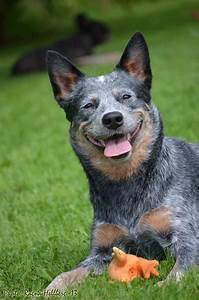 1000+ images about Cow dogs on Pinterest | Blue heeler dog ...