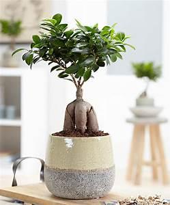 kaufen sie jetzt zimmerpflanze bonsai ficus m 39ginseng With whirlpool garten mit bonsai ficus ginseng