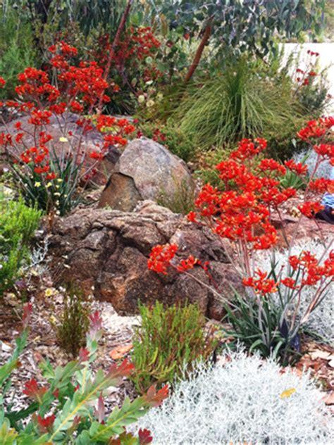 kangaroo paw garden design stunning kangaroo paws wild about gardens garden design perth wa