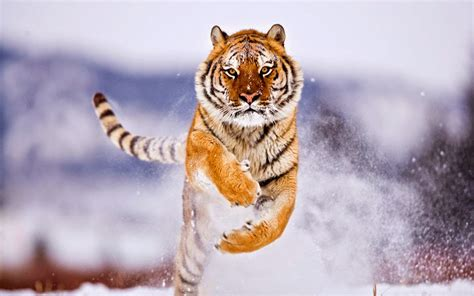 lovable images wild tiger hd wallpapers
