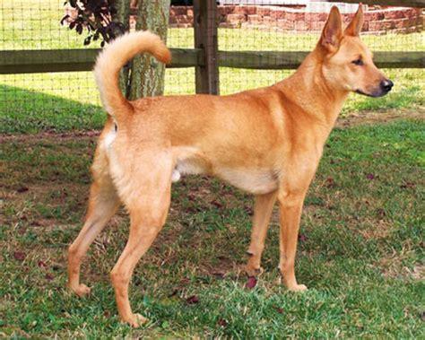 carolina dog info temperament puppies training pictures