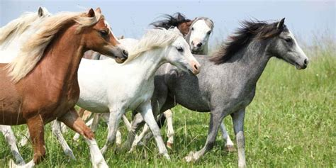 herd horse leader herds stallion mare researchers depends say helping anxiety separation pet ponies conventional egalitarian contrary likely wisdom dominant