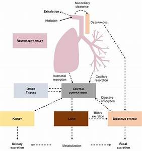 Elimination Pathways Of An Inhaled Drug  Some Of The