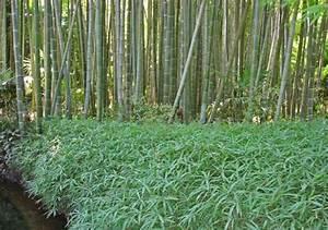 Bambus Als Zimmerpflanze : bambus pflege bambus und pflanzenshop ~ Eleganceandgraceweddings.com Haus und Dekorationen