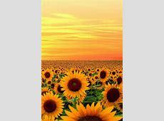 Sunset in Sunflower field, Maryland Creative Flower
