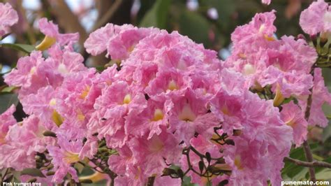 Jan 28, 2020 · the name derives from its blossoming coinciding with western japan's spring equinox, called higan. Plants and Trees of India Tabebuia Rosea Trumpet Tree ...