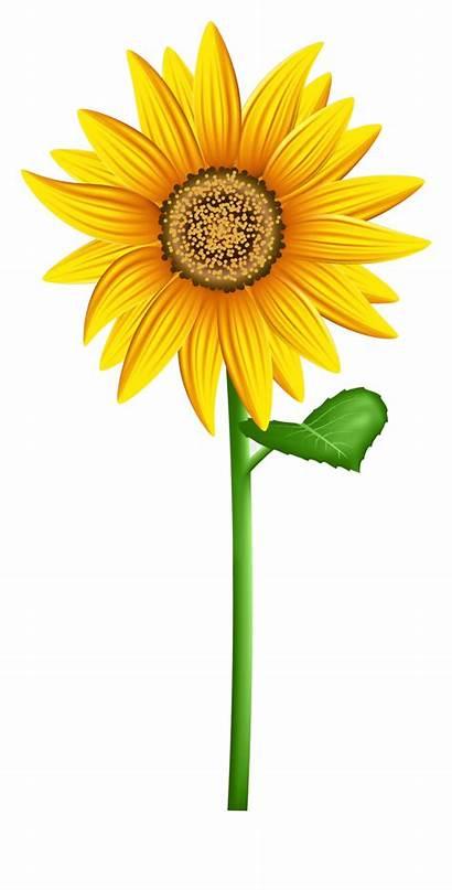 Sunflower Clip Transparent Clipart Flowers Pocoyo Cliparts