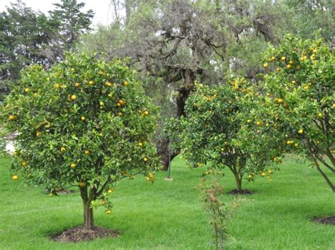 citronnier des 4 saisons culture taille et rusticit 233