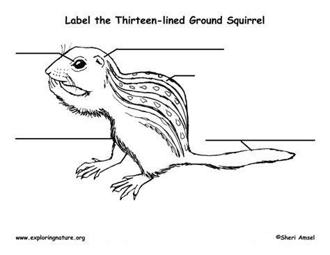 ground squirrel thirteen lined labeling page