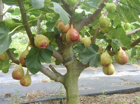 menanam buah tin kuntajaya ahmad