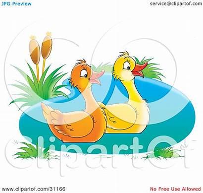 Pond Ducks Swimming Clipart Happy Pair Illustration