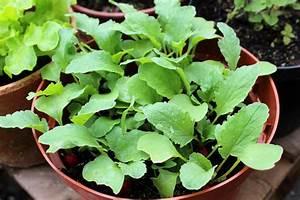 Culture Des Radis : comment faire pousser des radis en pot ou en jardini re ~ Melissatoandfro.com Idées de Décoration