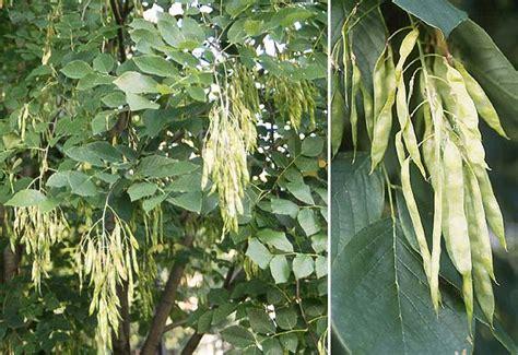 cladrastis kentukea landscape plants oregon state