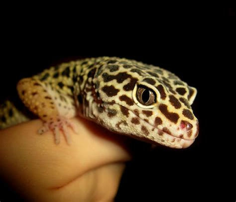 leopard gecko info junction blog leopard gecko