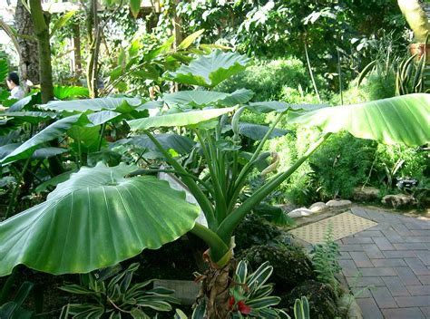 alocasia care file alocasia odora1 jpg wikimedia commons