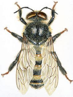 jean louis verdier insect studies on pinterest insects beetle and wasp