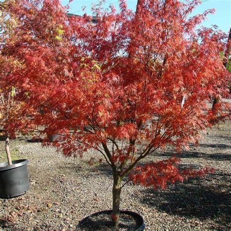 arbustes erable du japon acer palmatum seiryu caduc rameau mi ombre plantation