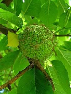 Лечение папиллом адамово яблоко