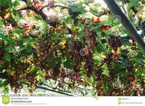 pruning grape vines fall vineyards at sunset in autumn harvest stock photography cartoondealer com 67280774