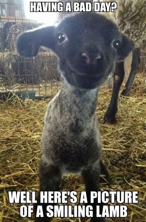 bad day heres  smiling lamb funny faxo