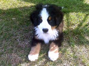 File:Bernese Mountain Dog.jpg - Wikimedia Commons