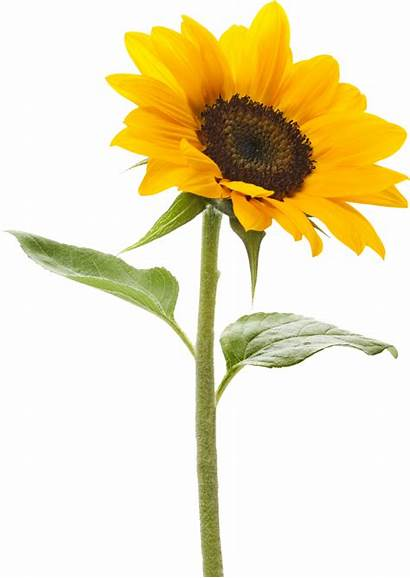 Sunflower Transparent Royalty Background Pngmart Clipart Clip