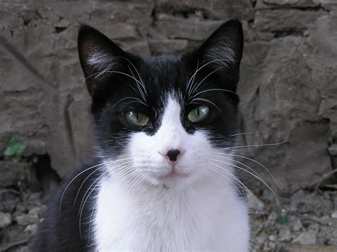 black and white cat file black and white cat crop jpg