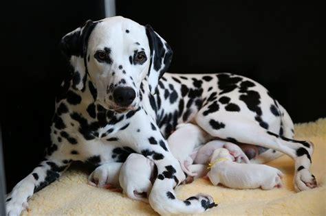 Happy Welpen E Wurf True Soul Dalmatiner