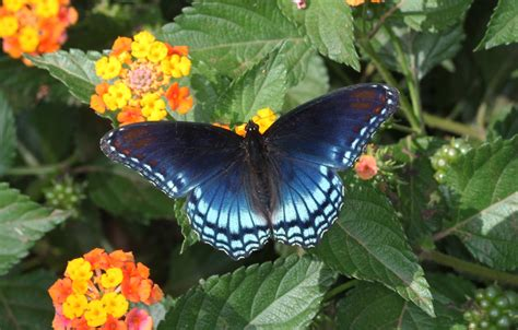 spicebush swallowtail butterfly spotted hd wallpaper