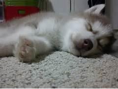 sleeping husky puppy thursday   Aww   Pinterest  Adorable Husky Puppy Sleeping