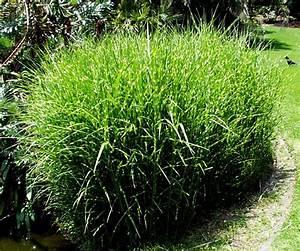 Miscanthus Sinensis Strictus : san marcos growers products plants another image ~ Michelbontemps.com Haus und Dekorationen
