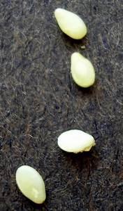 Sesame seed or Tapeworm segment? | Little Creek Veterinary ...