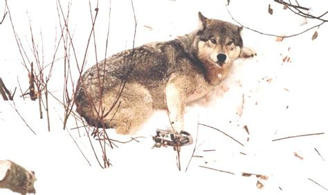 trapping  killing wolves   smile howling