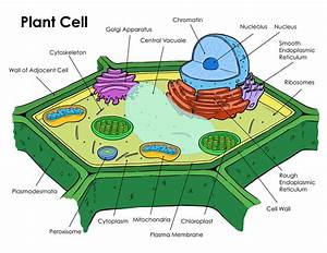 Diagrams Of Plant Cell