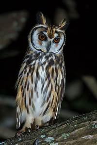 Striped Owl- (Asio clamator) by Thiago T. Silva on 500px ...