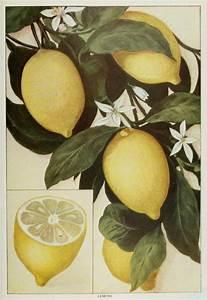Vintage lemon illustration | Art- Illustrations ...