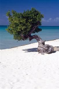 Eagle Beach Aruba Divi Tree