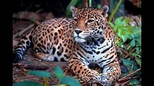 Jaguar - Facts and Figures - YouTube  Jaguar