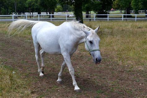 horse lipizzaner famous slovenia karst visiting coast travel horses born turn journal