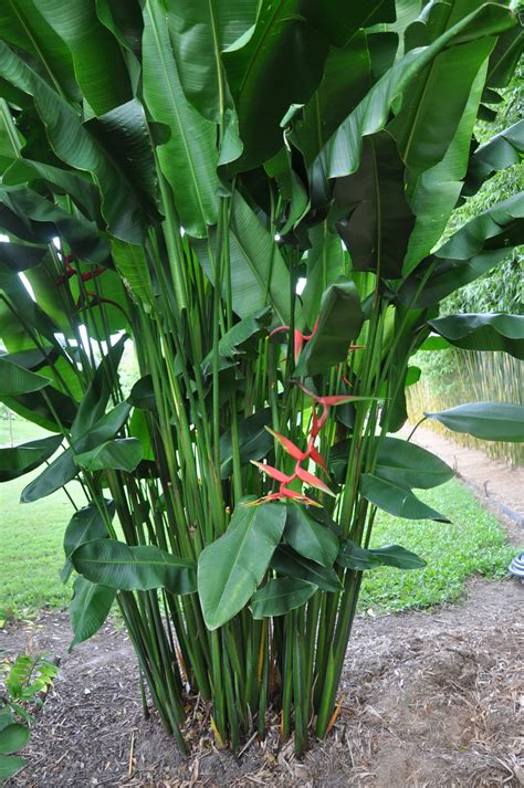 Heliconia Bihai X Marginata 'rauliniana'  Bamboo Land