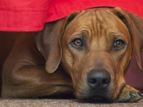 mast cell tumors  dogs  common canine skin cancer