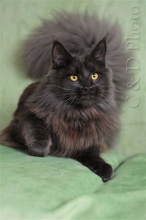 average cat lifespan top 28 average cat lifespan did you know the average lifespan for an outdoor cat is