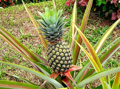 pineapple plant 5 steps for pineapple plant care beabeeinc