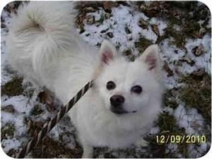 Pomeranian/American Eskimo Dog Mix Dog for adoption in ...