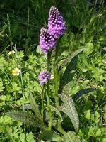 Aizsargājamie augi - Spoki